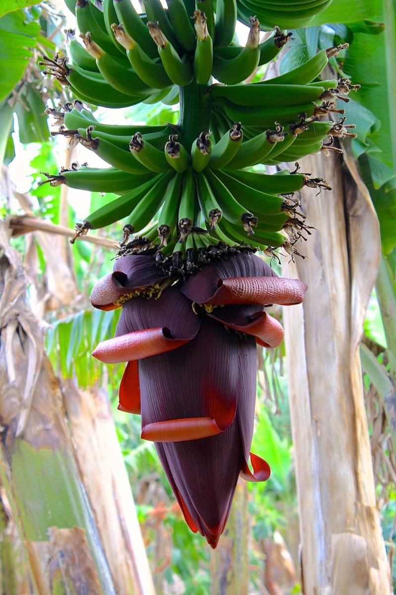 Banana Beauty by Ziad El-Zaatari, MD