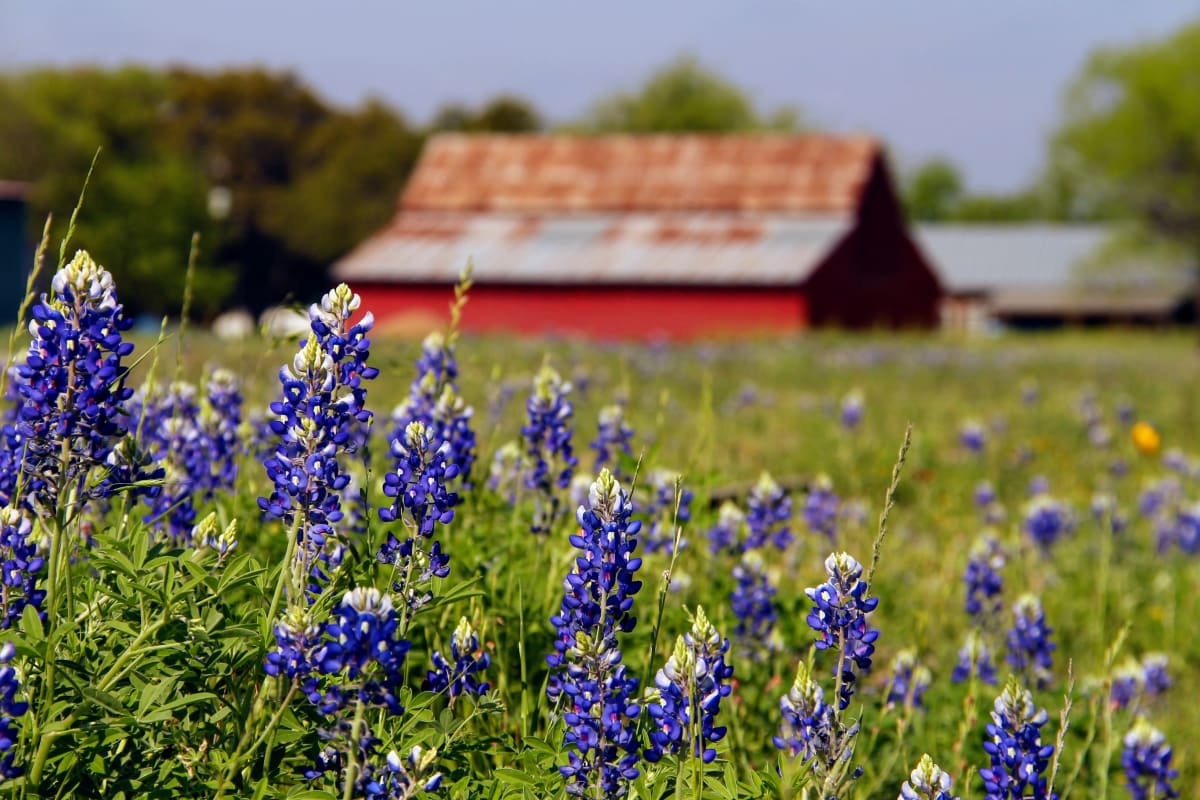 Barn and Bonnets by Meredith Treadway, RN