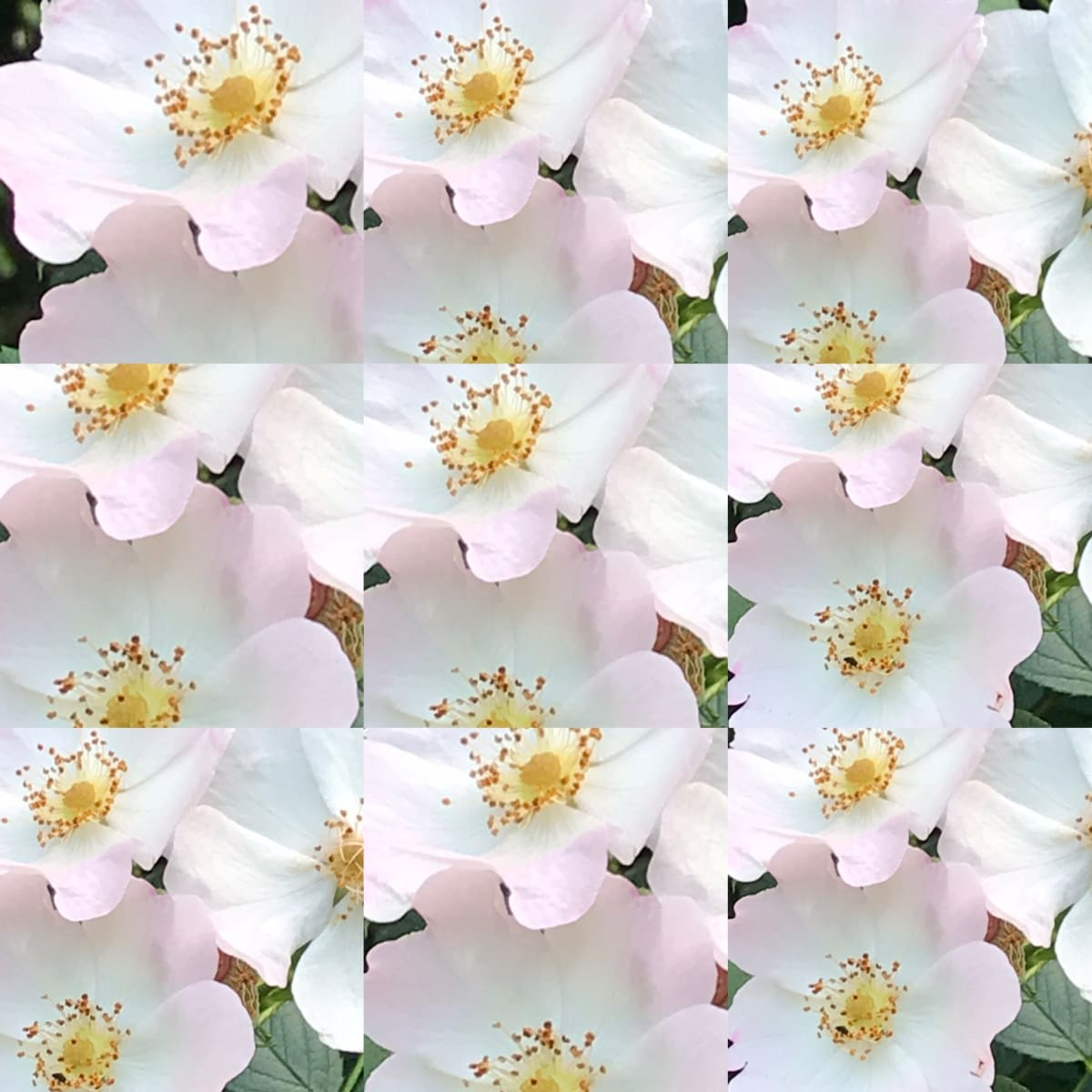 754-Hill House Rosehip Bloom by Katy Cauker