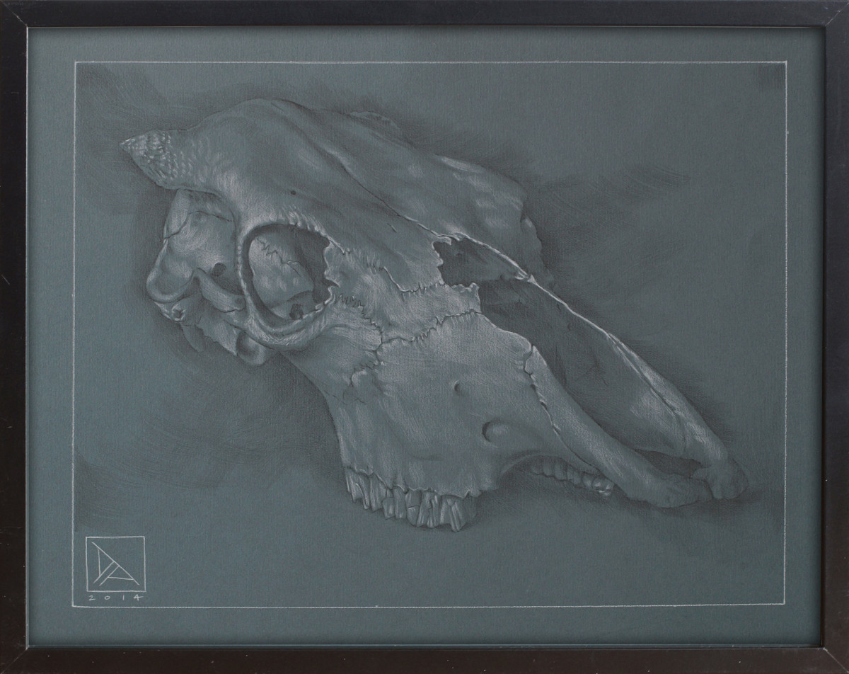 Skull Study #1 by Daevid Anderson