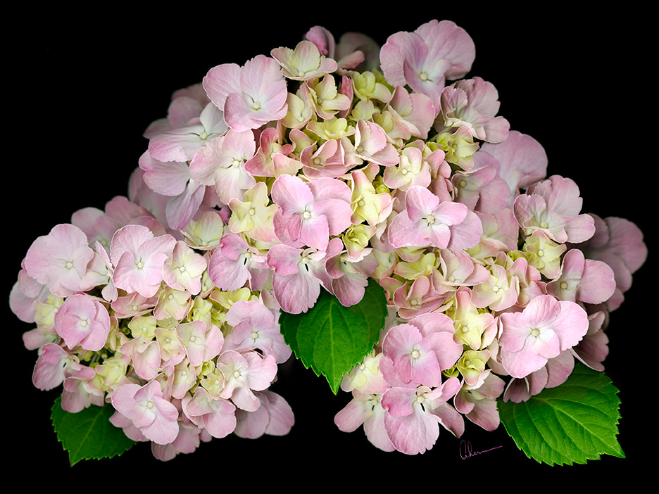 Pink Hydrangeas on Black