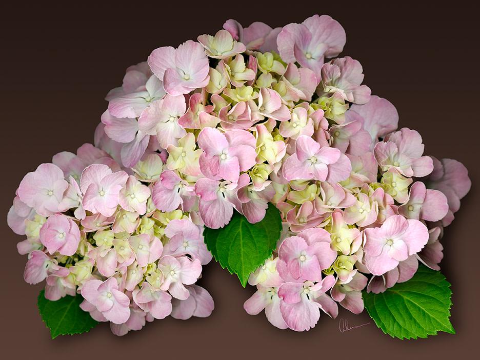 Pink Hydrangeas on Brown