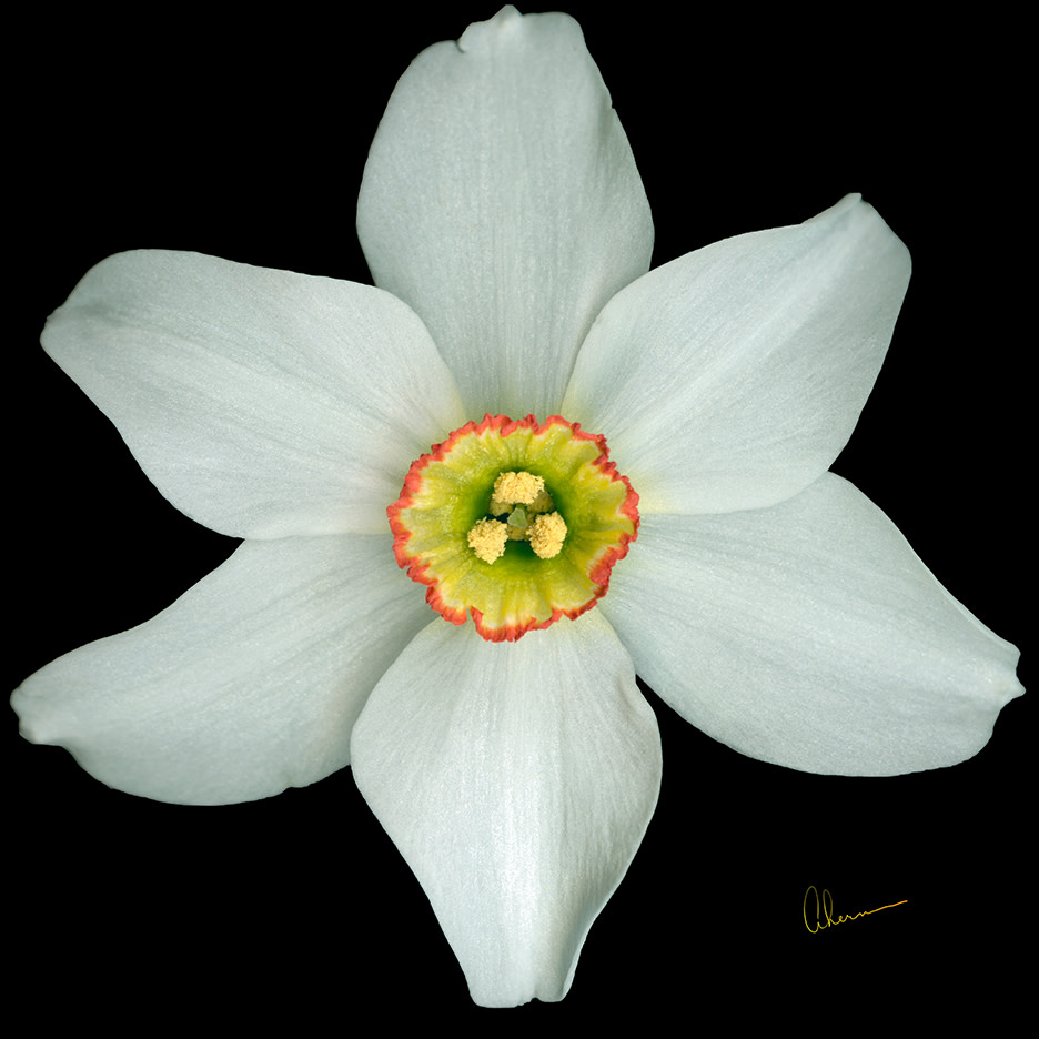 White Poeticus Daffodil Squared
