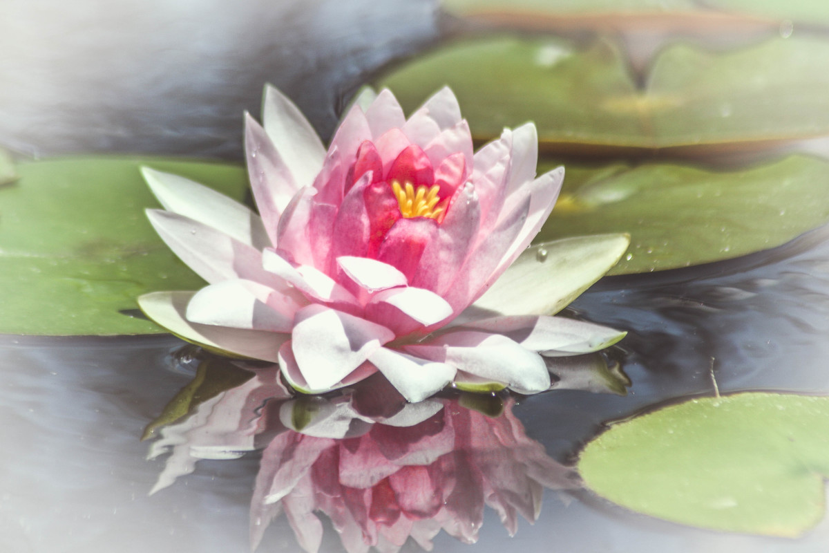 framed lotus blossom by lora wood artwork archive