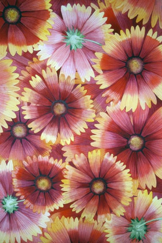 Blanketflower IV by Helen R Klebesadel