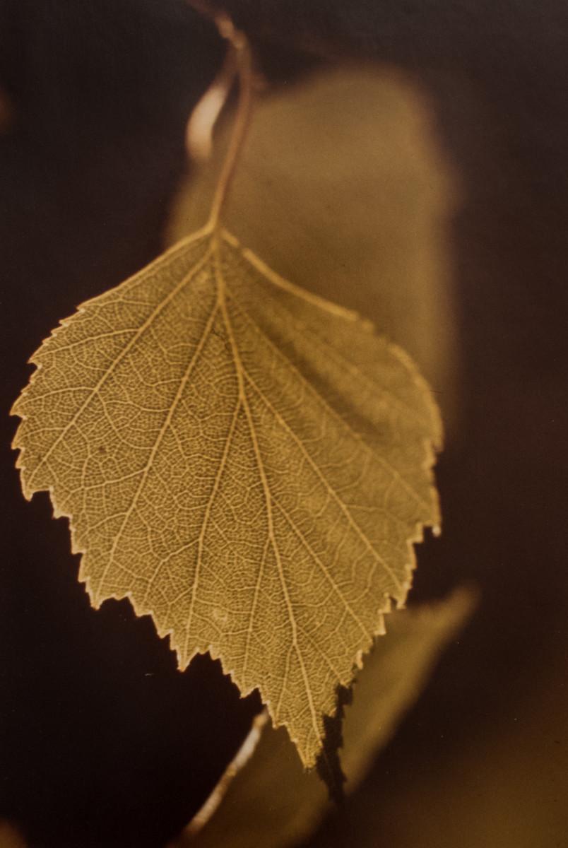 Birch Leaf by Ira Current