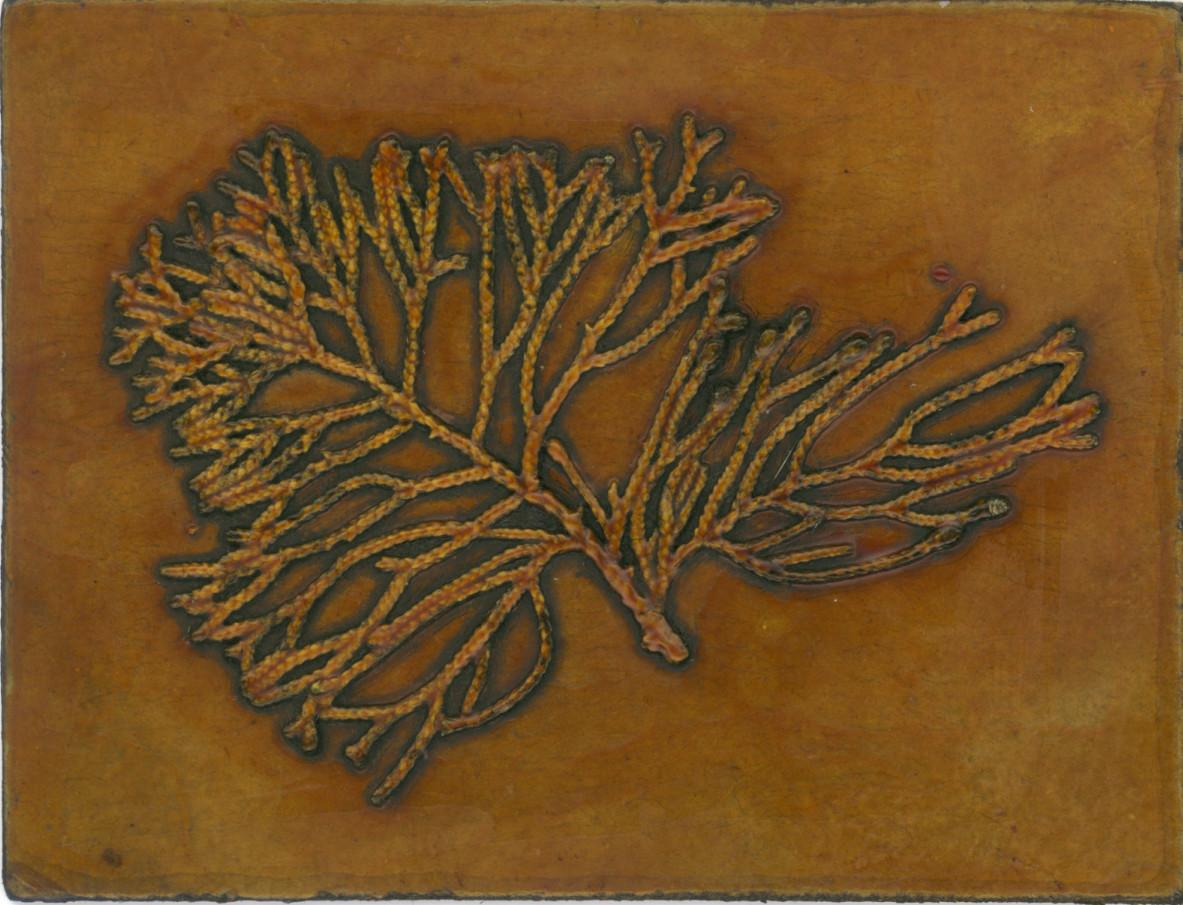 Callitris Plate by Jacky Lowry