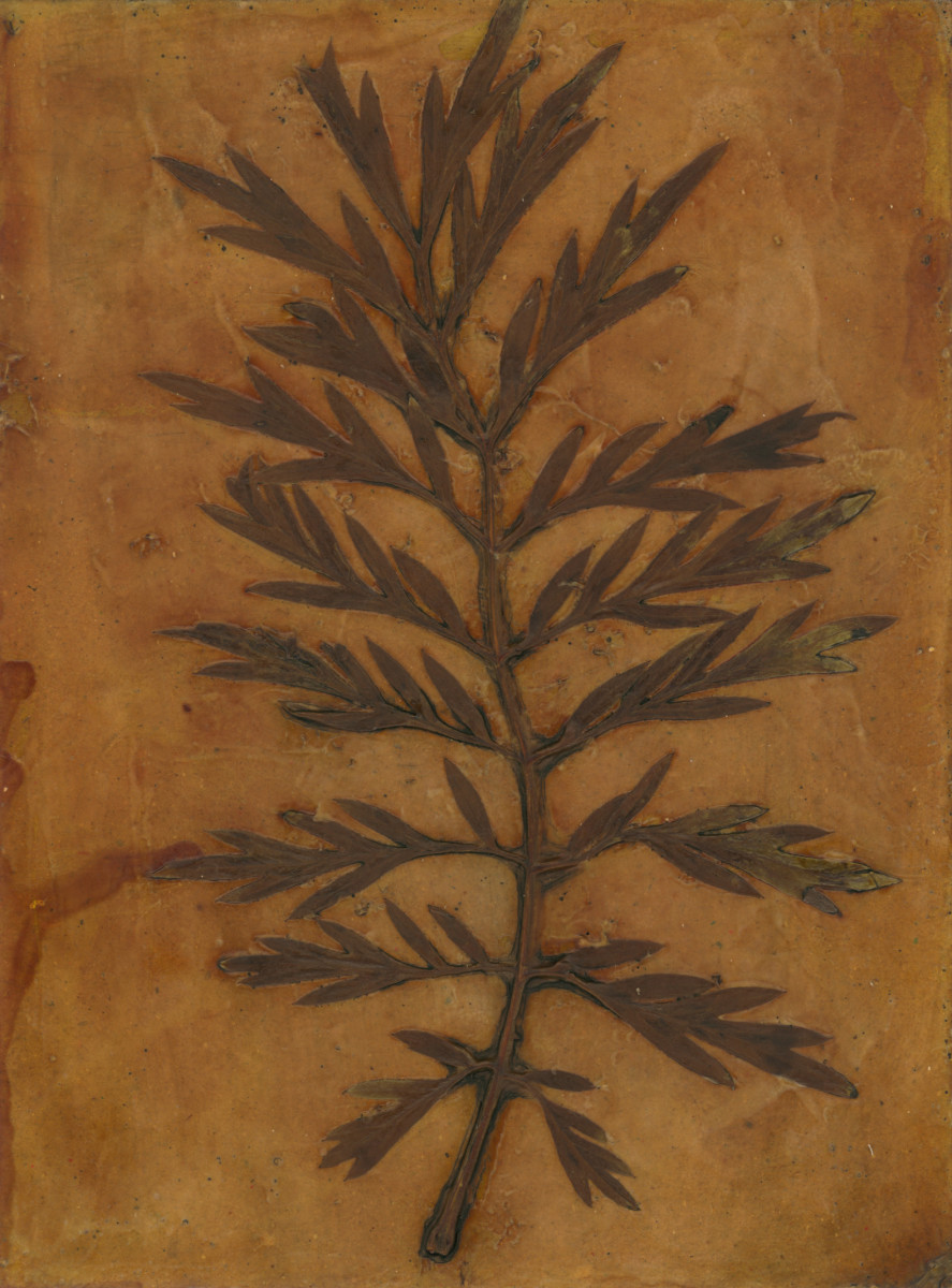 Silky Oak Leaf 2 by Jacky Lowry