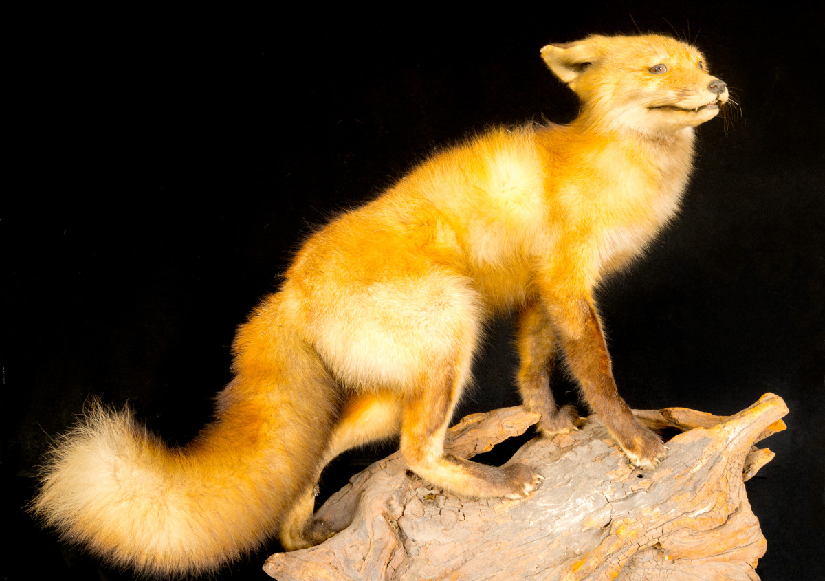 Red Fox by Alan Powell