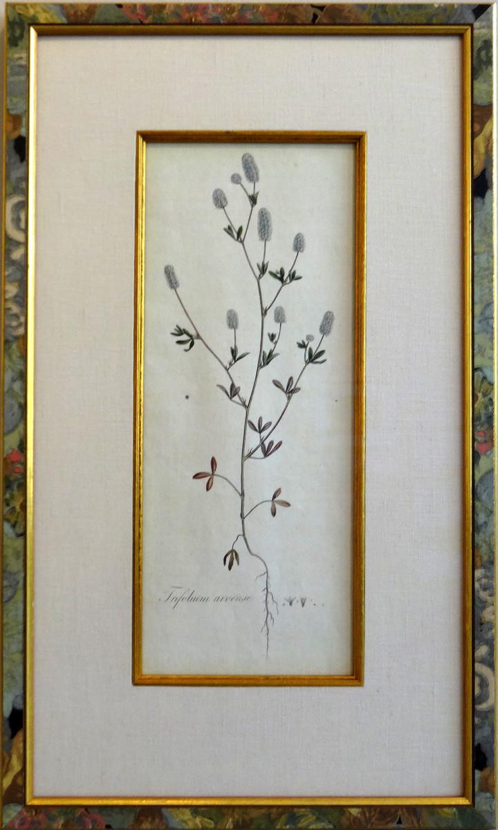 2160 - Trifolium Arvense by Artist Unknown