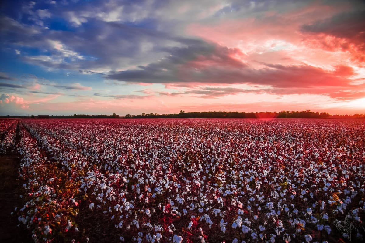 Cotton Field Sunset by Bach Prados