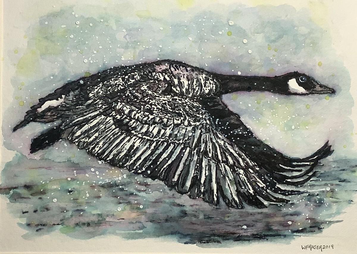 Canada Goose in Flight - Van. Isle BC Canada by Wanda Fraser