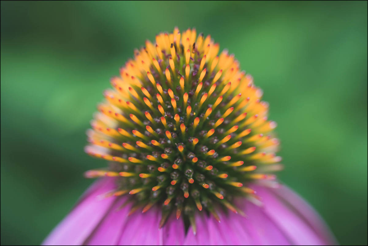 Coneflower (Framed Photo) by Bob Leggett