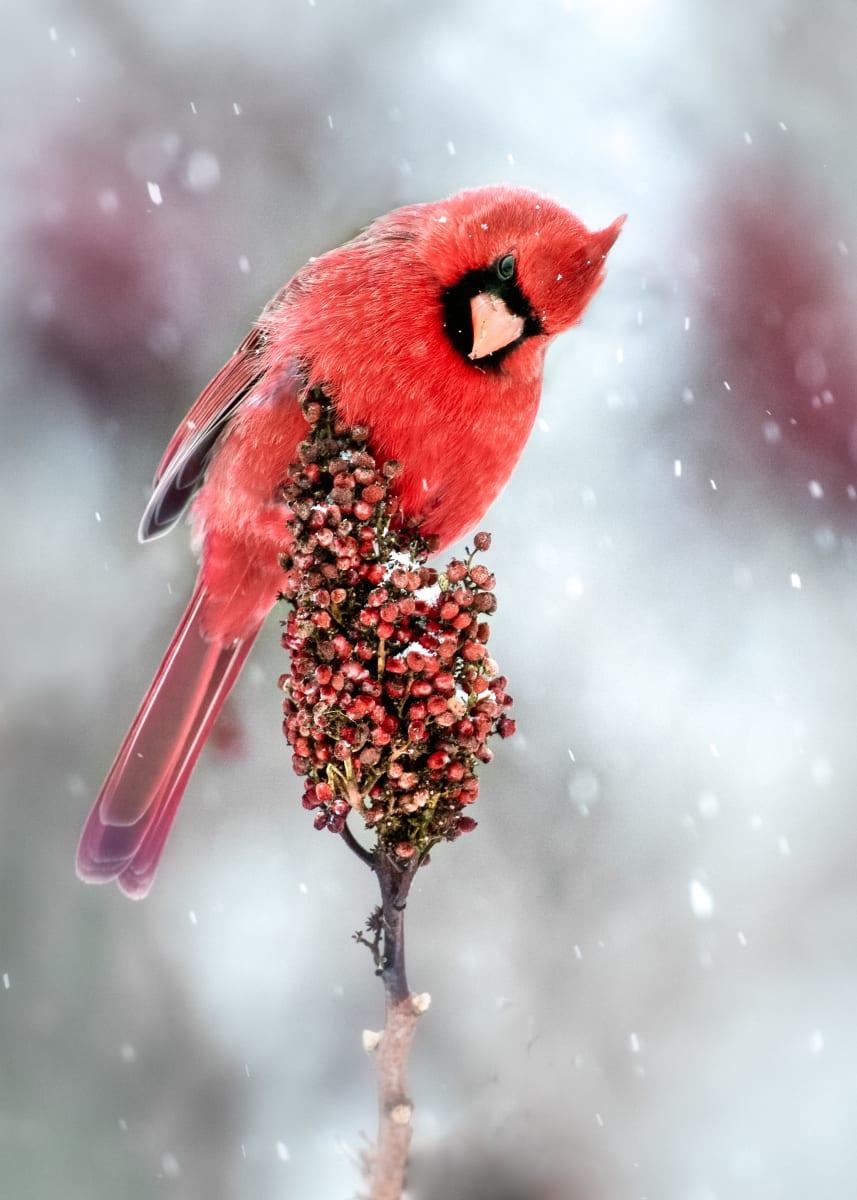 Cardinal (Unframed photograph) by Bob Leggett