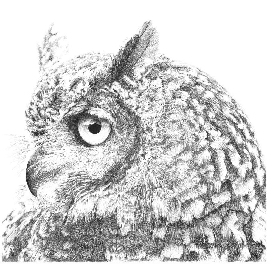 Long Eared Owl - Stan