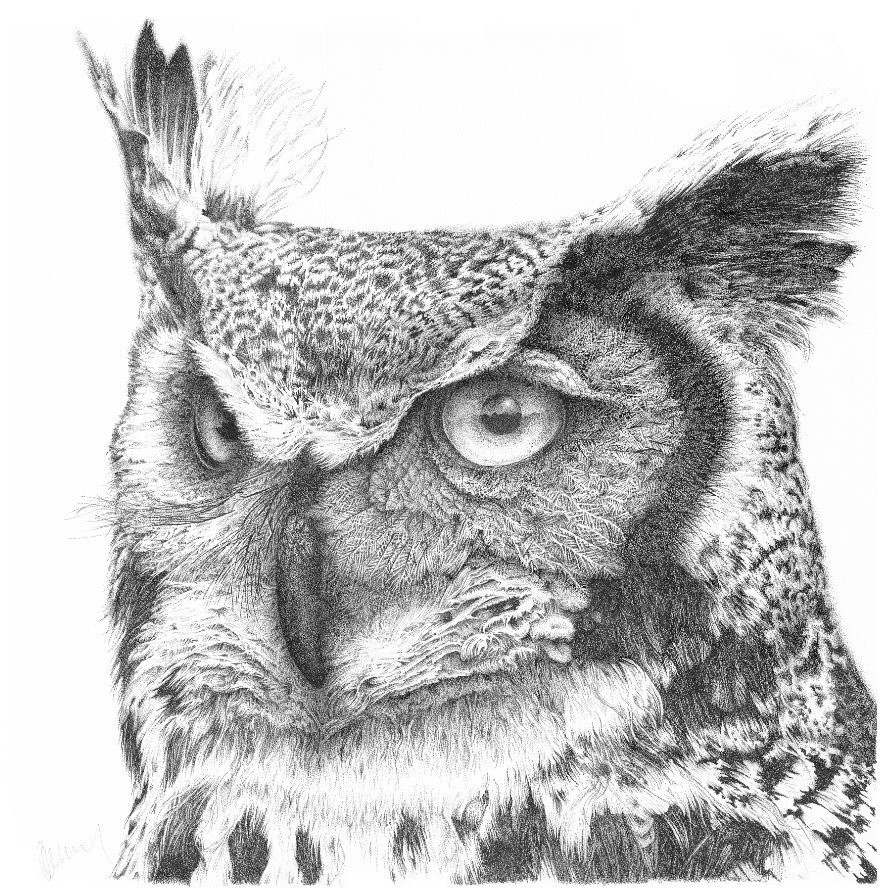 Long Eared Owl - Buster