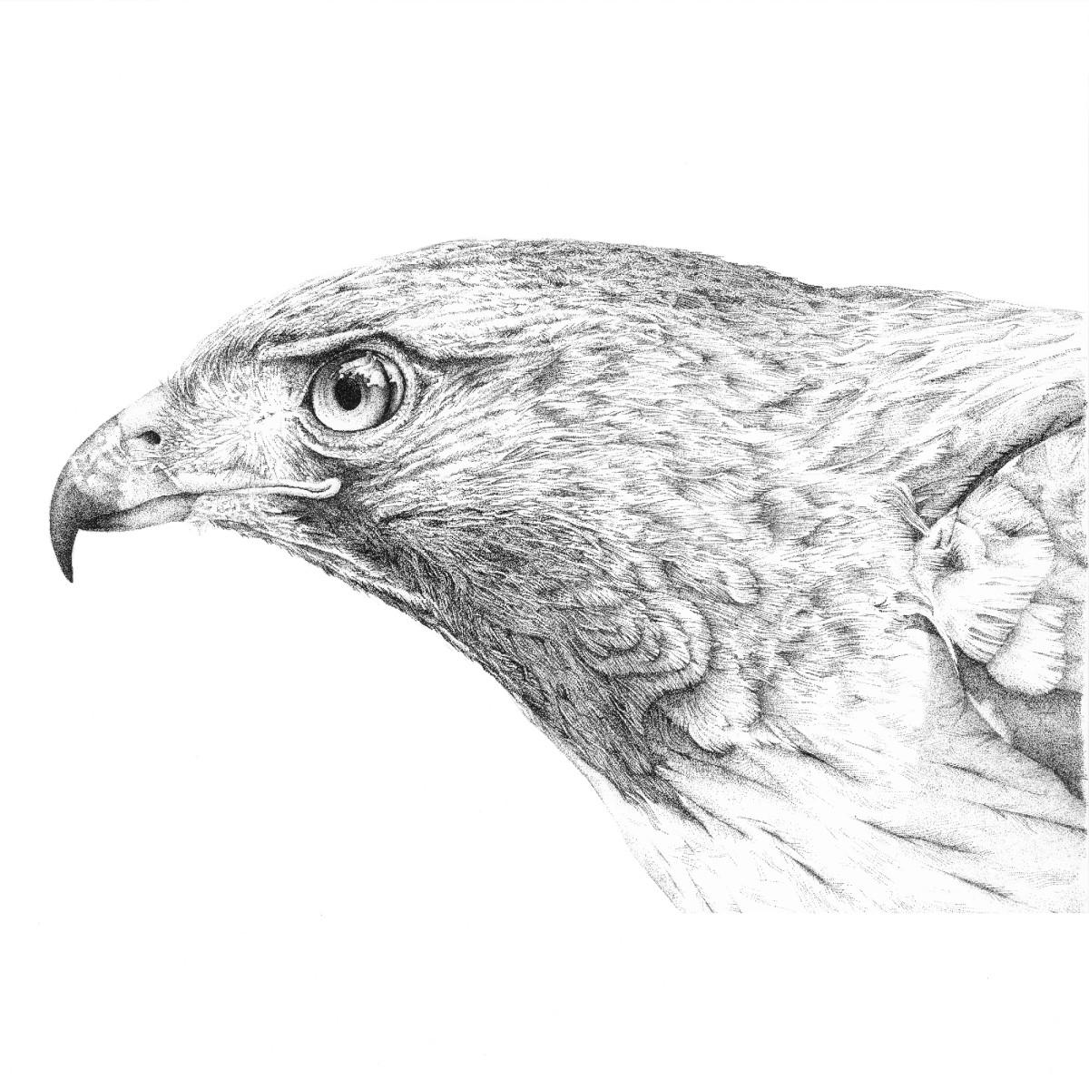 Red Tail Hawk - Head
