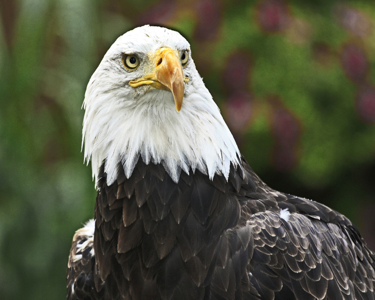 1st Rendition - The American Eagle by Wes Odell