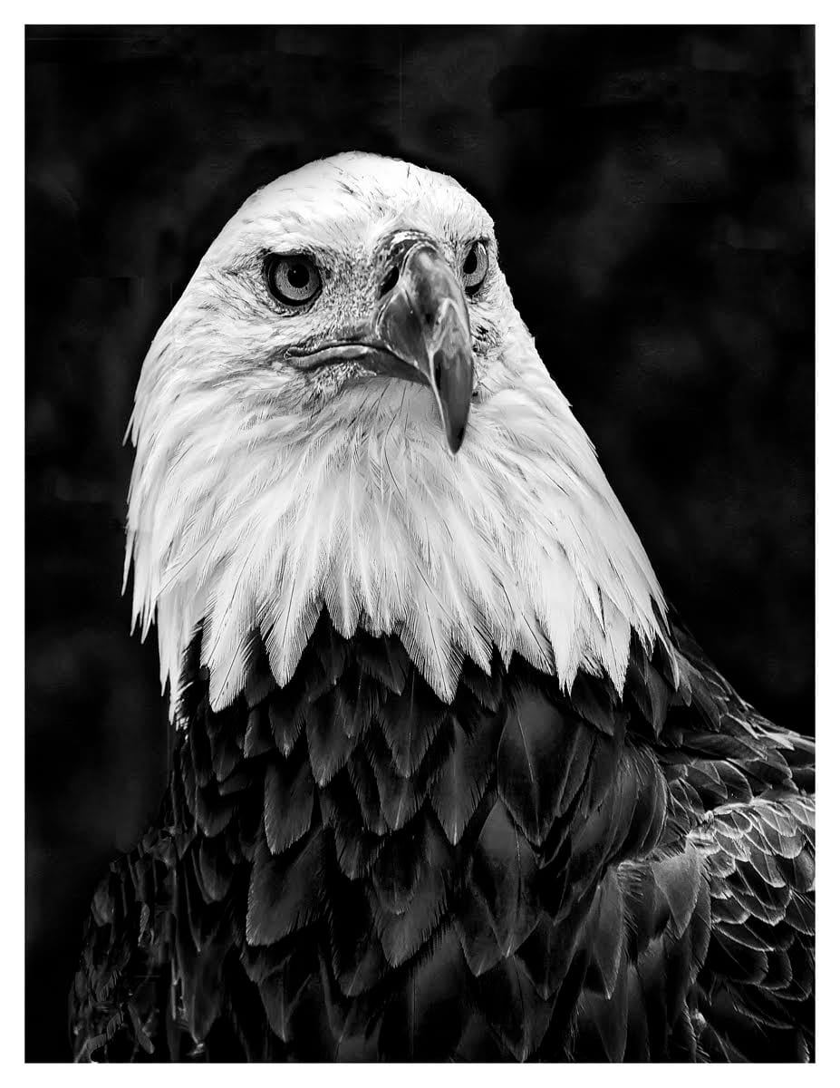 """Majestic"" The American Bald Eagle by Wes Odell"