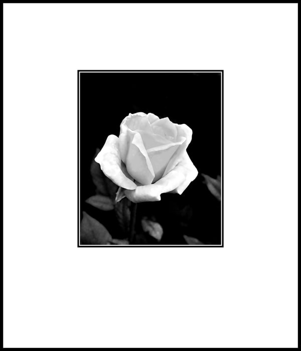The Majesty of a White Rose by Wes Odell