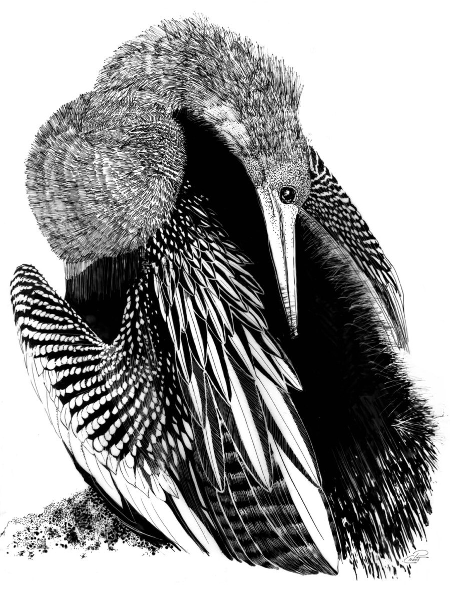 Preening Loon by Pat Cross  Image: A loon preens as she rests during her migration through West Virginia.