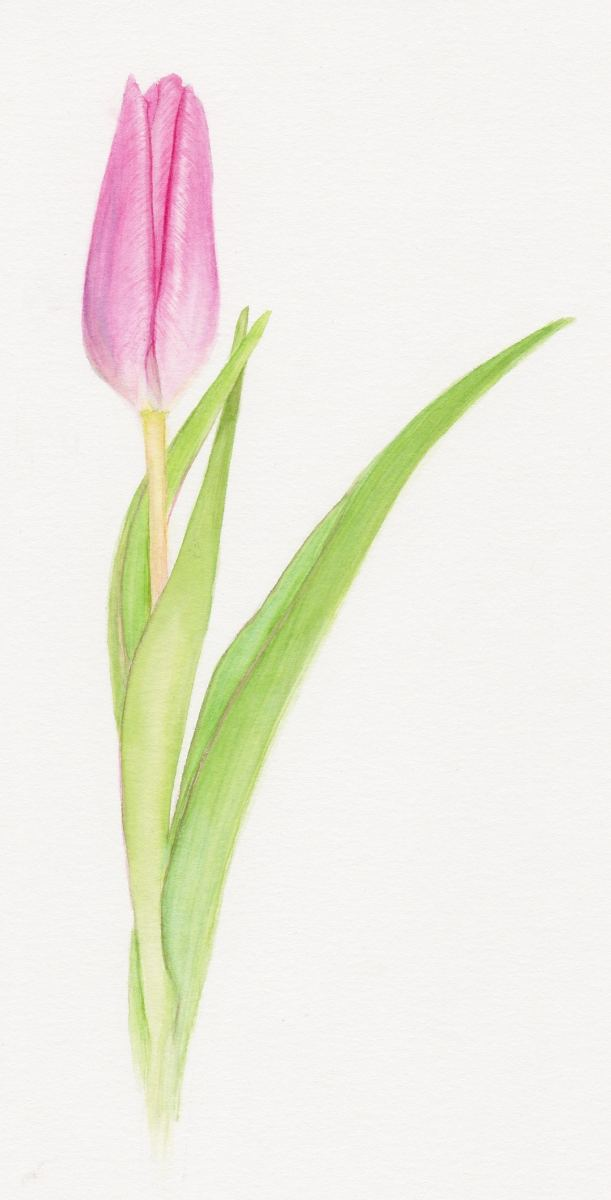Pink Tulip Notecards by Lisa Libretto