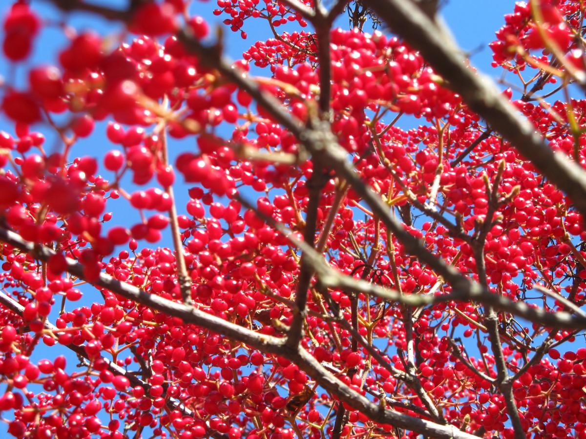 Berry Boughs by Y. Hope Osborn