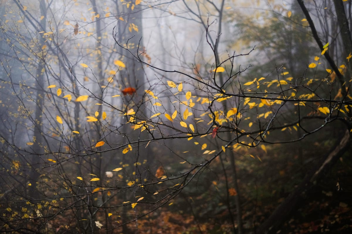 black birch in autumn by Kelly Sinclair