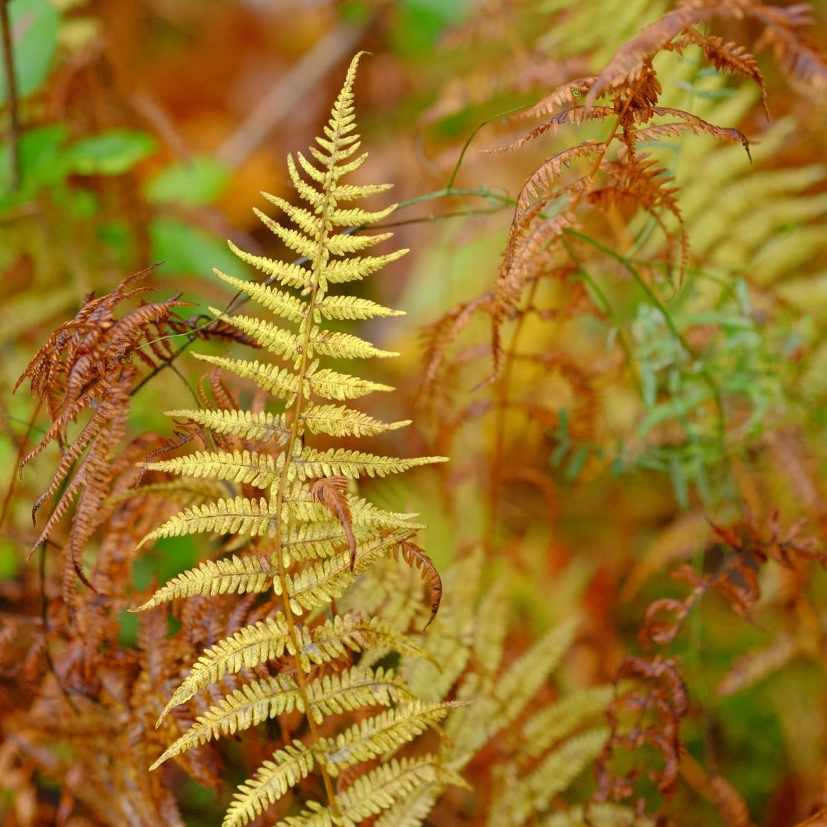 Autumn Fern by Kelly Sinclair