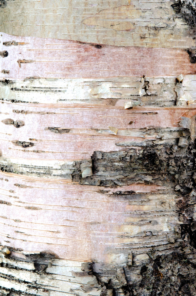 Pink birch by Kelly Sinclair