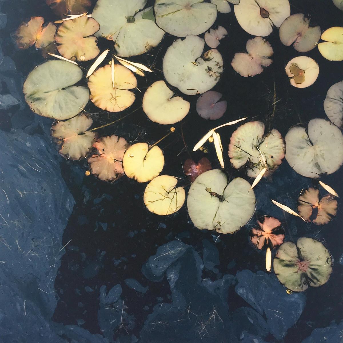 Lilies by caroline fraser