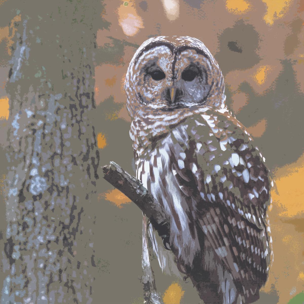 Barred Owl by Gina Godfrey