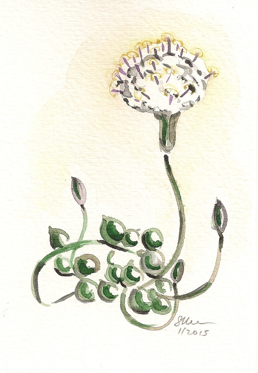 Blooming String of Pearls Succulent with One Flower by Sonya Kleshik