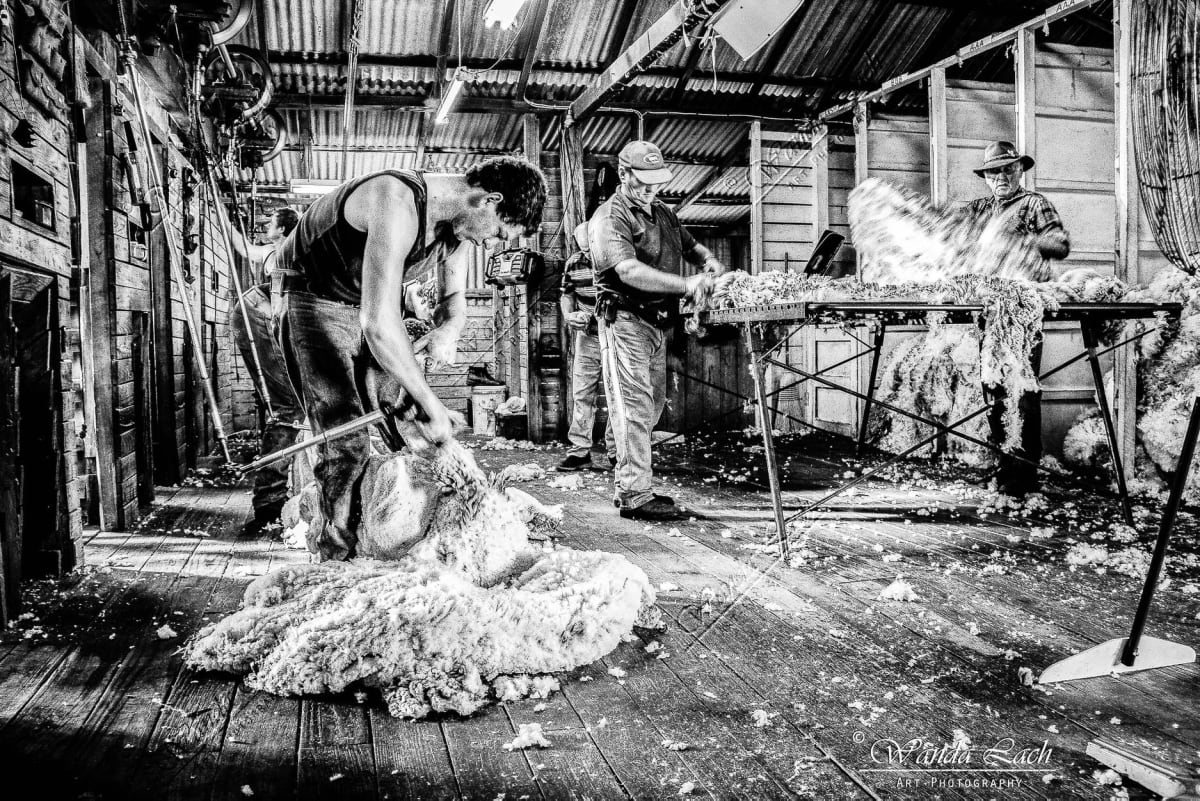 Shearing by Wanda Lach