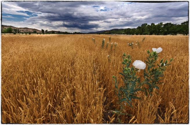 Sonoran White Wheat - Native Seed Search Farm, Patagonia