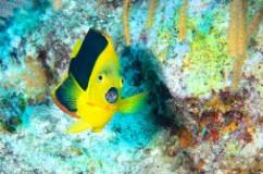 Fish Lips (Rock Beauty, Grand Turk)