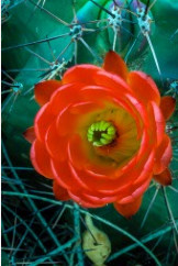 Hedgehog Cactus #4 by John Perry