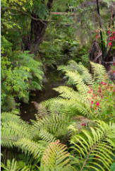 New Zealand Ferns