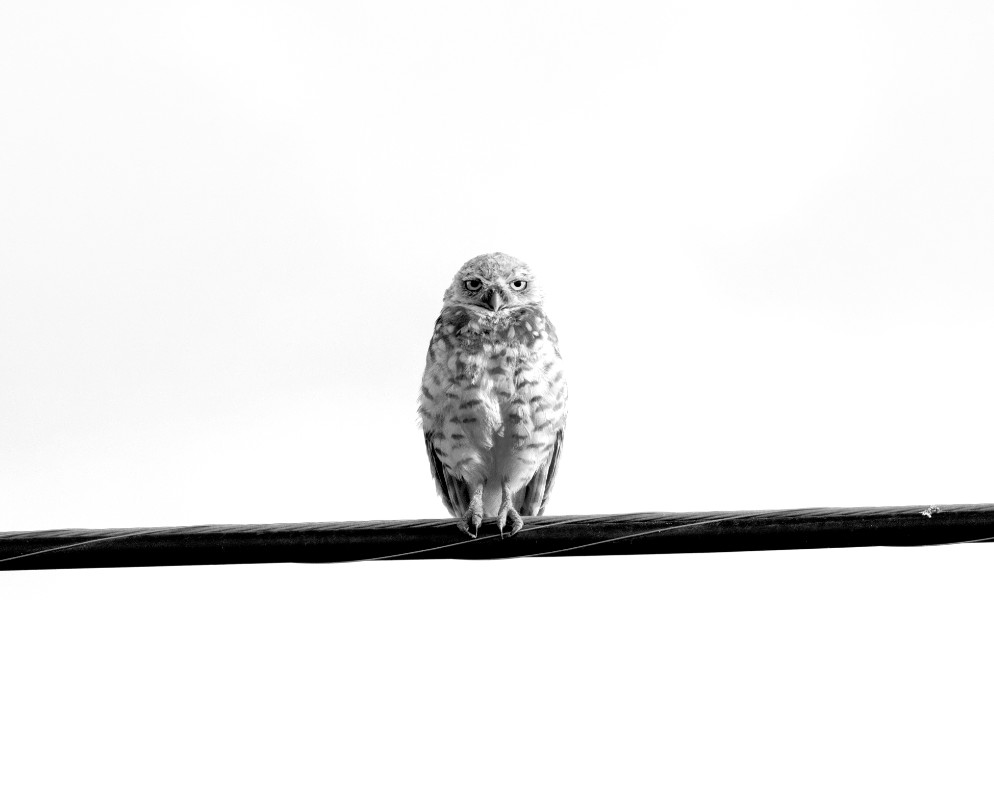 Owl on a Wire