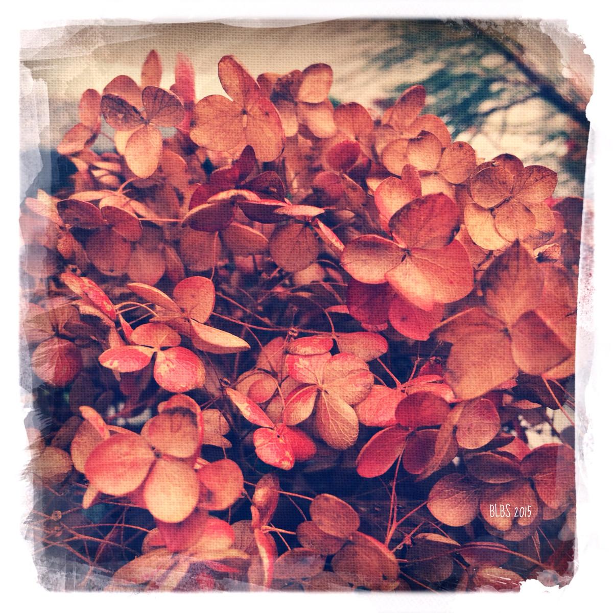 Dried Hydrangea in Winter