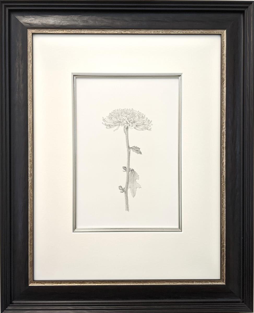 Chrysanthemum iv