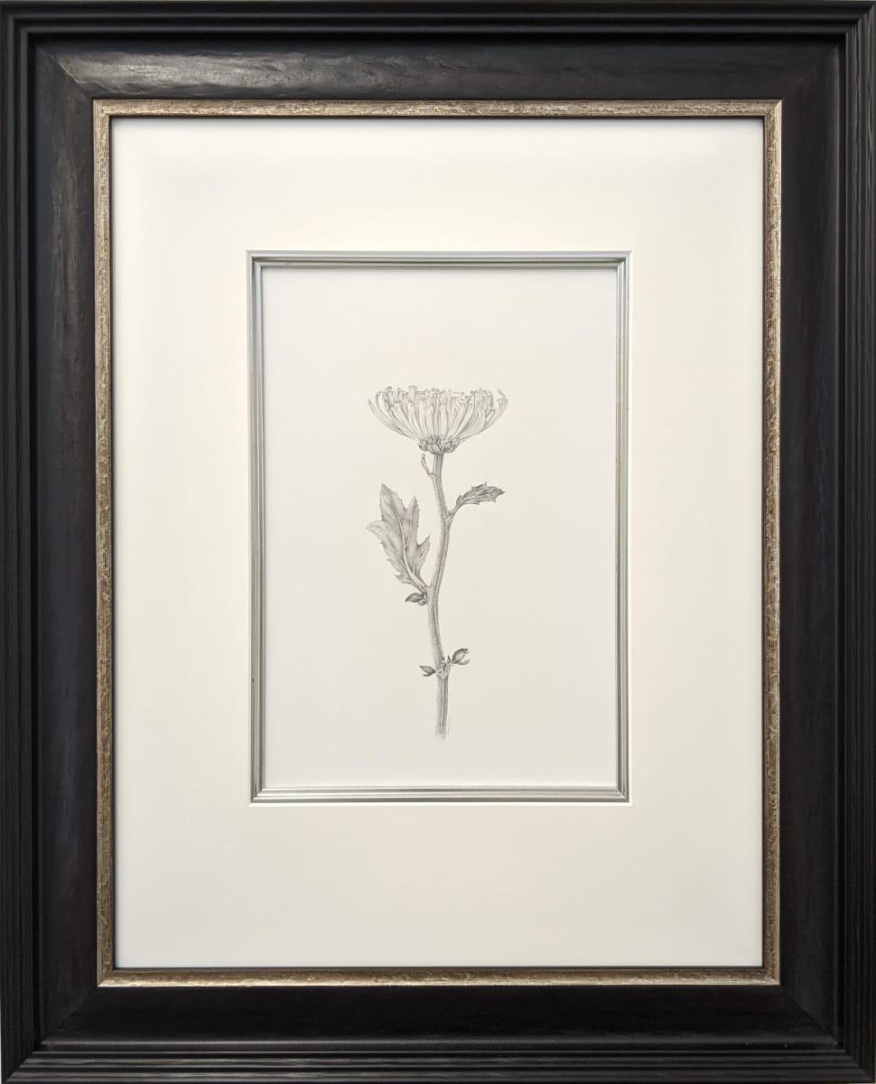 Chrysanthemum v