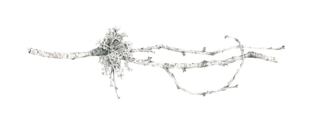 Lichen on Birch ii by Louisa Crispin