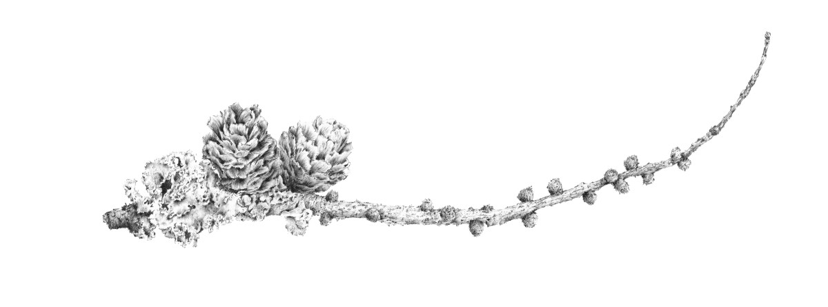 Lichen on Larch iii ~ Ramster