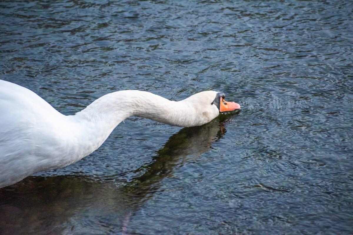 Spring Park Swan by María Camp