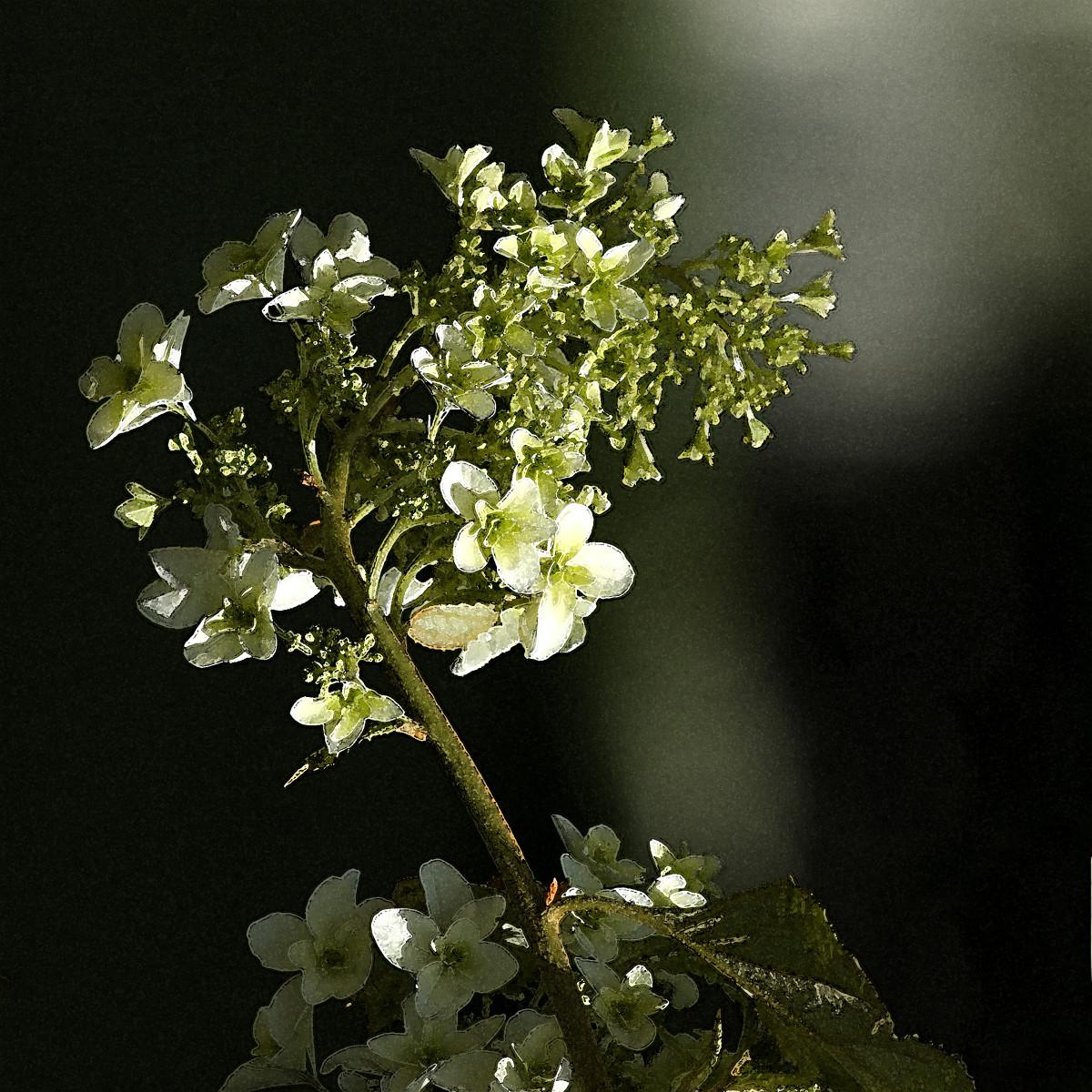 Hydrangea quercifolia 2