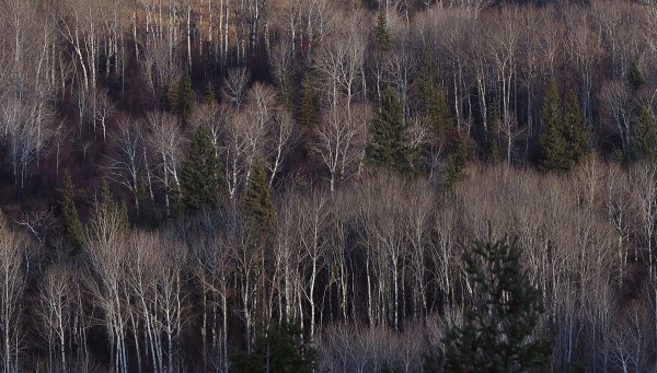 Wetland Trees, Wilmer, B.C. 2018