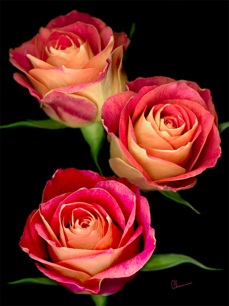 Triple Red Roses