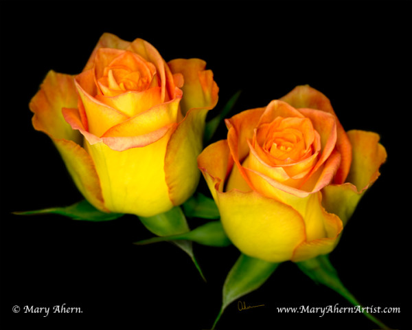 060510-Ahern-double-yellow-roses-8x10x72_ho0msd_3