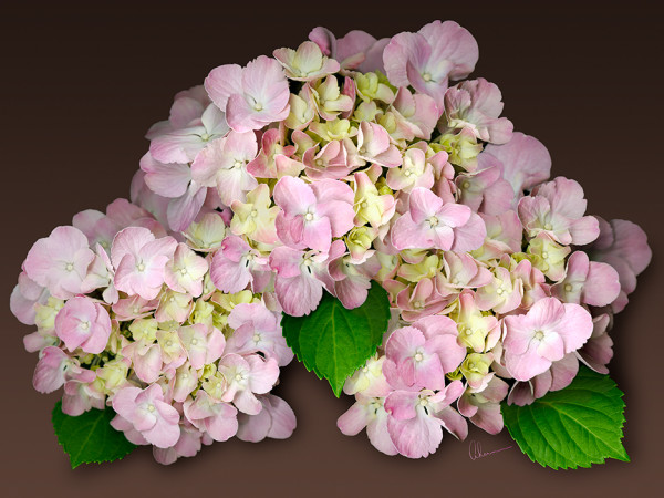 Pink Hydrangeas on Brown